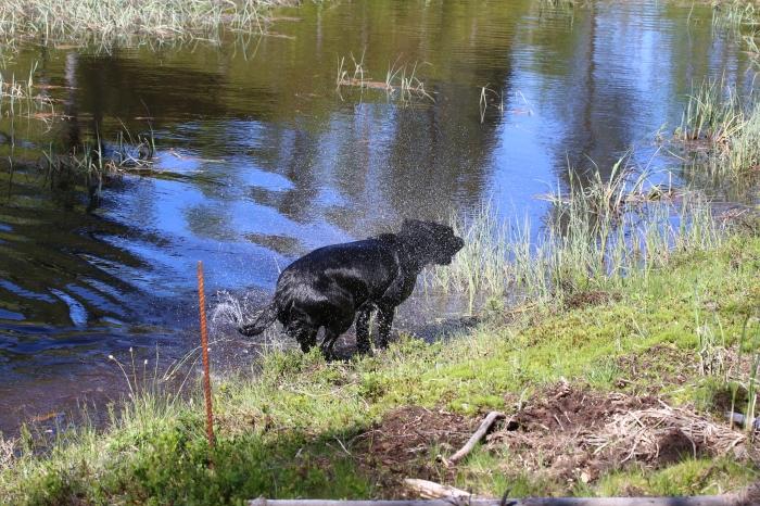Hundklubbar, fuglehund, älghund, lajkor, jaktterrier, viltspårhund, stövare, hunddressyr, jaktguide, Jonas i Sälen Game Fair, jaktmässa, älgjakt
