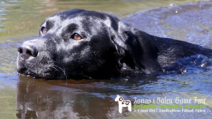hundar, hundtillbehör, jakthundar, jaga med hund, hundmässa, mässa sälen, hund sälen, Jonas i Sälen Game Fair, älghund, stående fågelhund