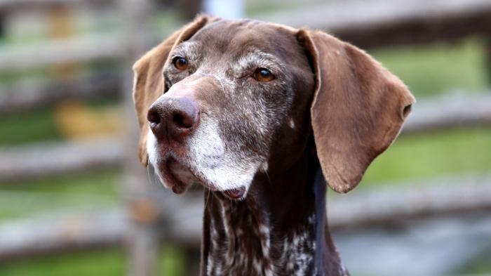 fågelhund, Mellansvenska Fågelhundsklubben, stående fågelhund, irländsk setter, vorster, vaimaran, hundklubb, hund uppvisning, hund utställning, hund träning, Jonas i Sälen Game Fair, jaktmässa sälen