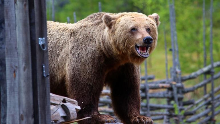 björn, björnhund,björnjakt, jaga björn, hundförare, björnpermobil, hundprov, jakthundar, jaktmässa, jaktmässa sälen, Jonas i Sälen Game Fair, gamefair sälen, jaktmässa Dalarna, Utbildningar Luleå, hundprov mot björn, älg, älgpermobil, Rädda Jakten, testa hund mor björn, Lindvallens Fäbod, jaktmässa 2018, första helgen i juni, Sälen Dalarna, fiske mässa, outdoor, vildmark, björidé, björn Dalarna