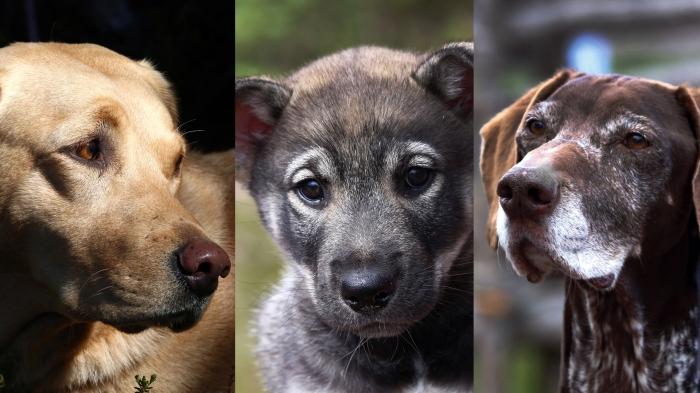 hund, hundar, jakthund, jämthund, älghund, basset, stövare, hamiltonstövare, jaga med hund, jaktmässa, jaktmässa sälen, draghundar, hundprov, hundprov på björn, hundprov på älg, flatcoated retriever, dog, Vorsthe, fågelhund, Sälen, gamefair sälen, hundmässa, träning, Jonas i Sälen Game Fair, Paw of Sweden